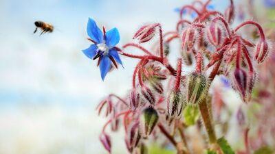 Kerti borágó, a jókedély virága