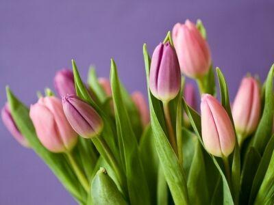 Tulipánfesztivál