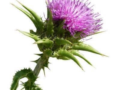 Gyógynövények: Máriatövis