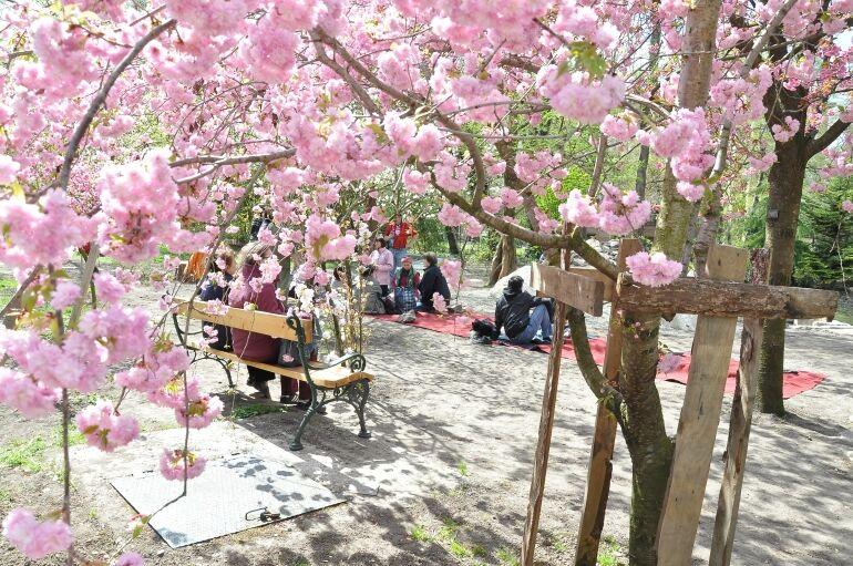 Sakura Ünnep a Füvészkertben